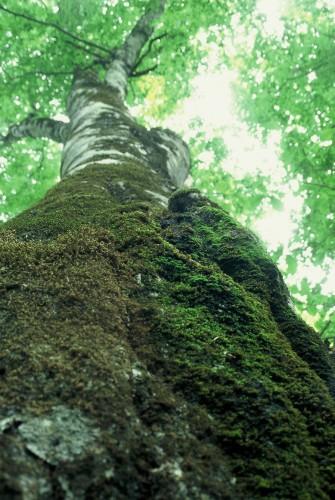 hashiya_tree